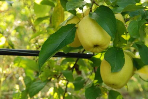 pommes SCOT PV Photoc
